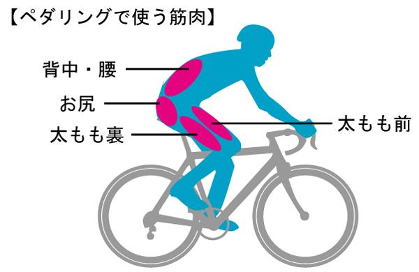 ロードバイクのペダリングで使う筋肉 背中・腰・お尻・太もも裏。太もも前