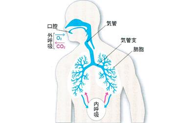 人間の呼吸における肺や気管支ノメカニズム